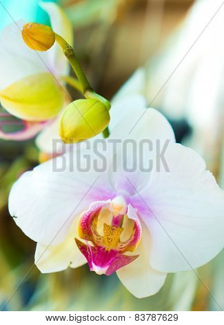 White Orchids With Violet Pollen