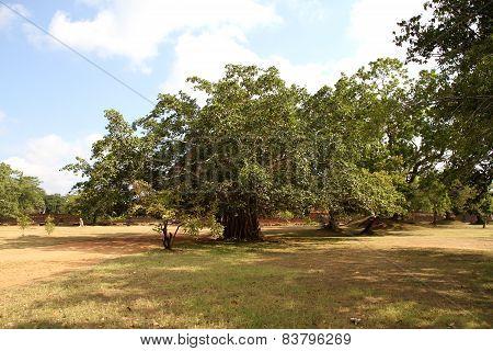 Ficus Benjamina Giant Tree