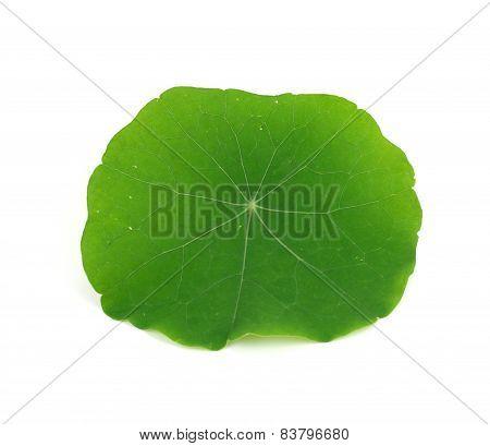 Green Nasturtium Leaf Isolated On White Background.
