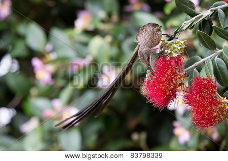 Cape Sugar Bird Looking For Nectar In Red Flowers Of Bottle Brush