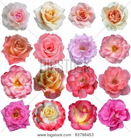 16 Rose Flowers Isolated On White Background