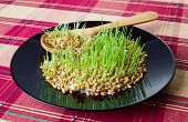 stock photo of germination  - Germinated grain on black plate with wooden spoon - JPG