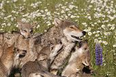 pic of wildflower  - Four wolf puppies play with mom in a meadow of wildflowers - JPG