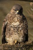 picture of buzzard  - Common Buzzard on Branch - JPG
