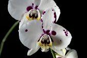 ������, ������: Phalaenopsis Orchid