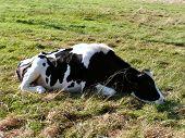 Image of sleeping cow.