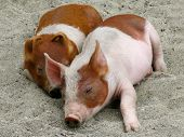 pic of snuggle  - Two cute piglets snuggled together while sleeping - JPG