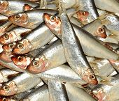 picture of caught  - Fresh sea caught silver fish sprats background