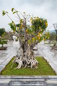 picture of bonsai  - Bonsai tree in Temple Linh Ung Pagoda Vietnam Danang - JPG