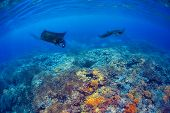 picture of manta ray  - Manta rays filter feeding above a coral reef in the blue Komodo waters - JPG