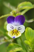 stock photo of viola  - Wld Pansy - Viola tricolor Single flower closeup - JPG