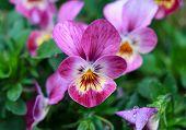 pic of violet flower  - Violet - JPG