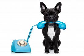 stock photo of bulldog  - french bulldog dog on the phone or telephone in mouth isolated on white background - JPG