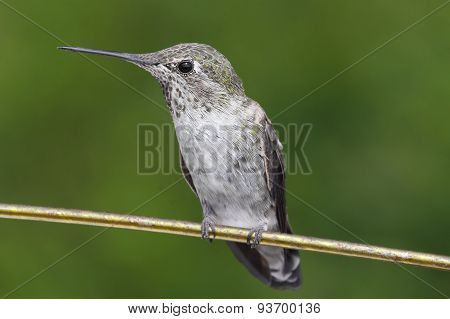 Annas Hummingbird (calypte Anna) On A Wire