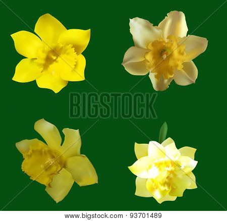 illustration with four narcissus flowers isolated on green background