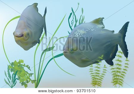 illustration with two piranha fishes in green algae
