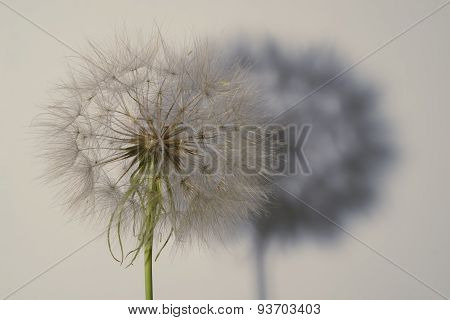 Salsify seed head on white with shadow