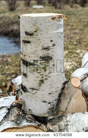 Old Birch Cut