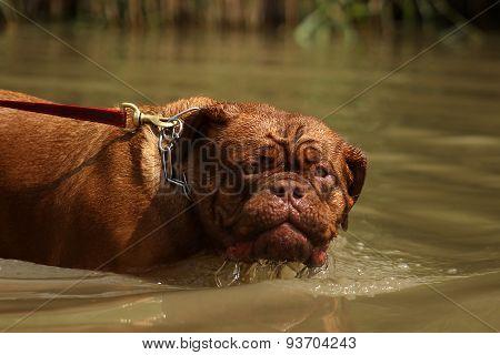 Bordeaux mastiff in water