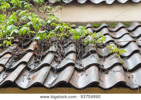Wet Tiled Roof Covered By Climbing Plants Closeup View