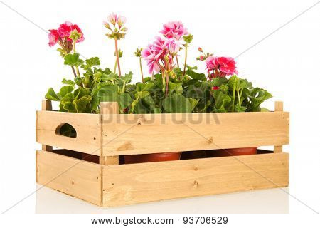 Several pink Geraniums in wooden crate isolated over white background
