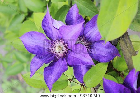 Closeup Of Clematis On Green Leaves Background