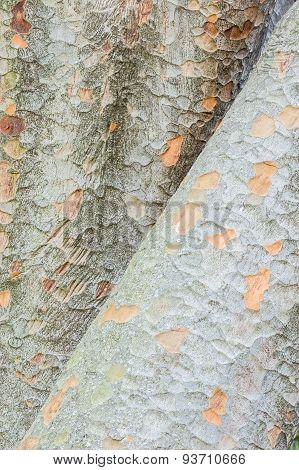 Detail Of Zelkova Tree Trunks