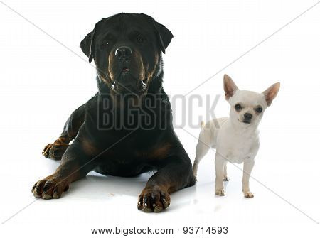 Chihuahua And Rottweiler