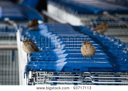Sparrows On Shopping Carts