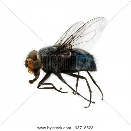 A macro shot of fly on a white background .