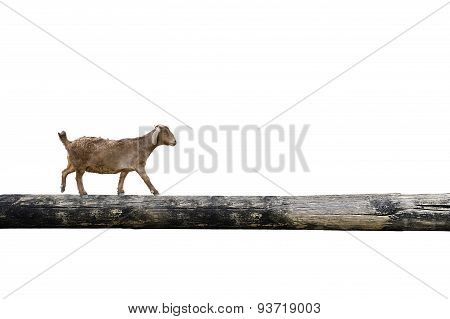 Sheep Balancing On Tree Trunk