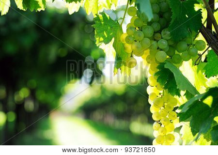 grapes at harvest time