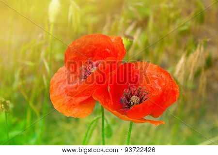 Red Poppy Flowers Field, Close Up