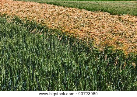 Different Varieties Of Wheat 8