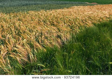 Different Varieties Of Wheat 5