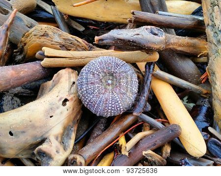 Urchin amongst the Driftwood