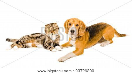 Beagle and cat Scottish fold lying together