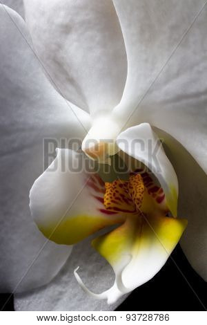 White Orchid Macro. Orchidaceae