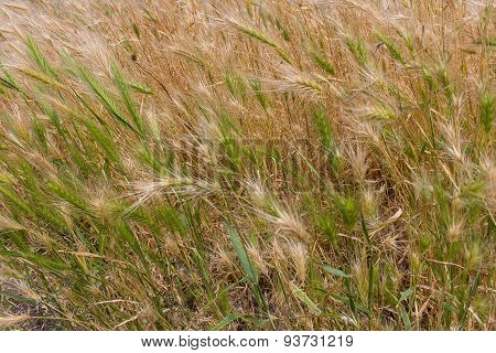 Gold And Green Grass. Fields And Meadows