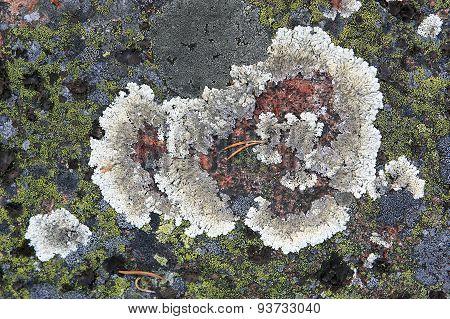 Lichen.