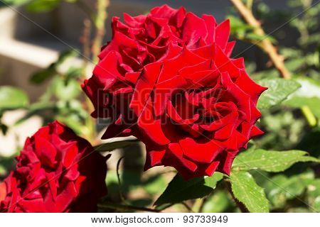 Beautiful Delicate Rose In Back Light On A Dark Background. Selective Focus And Space In The Zone Bl