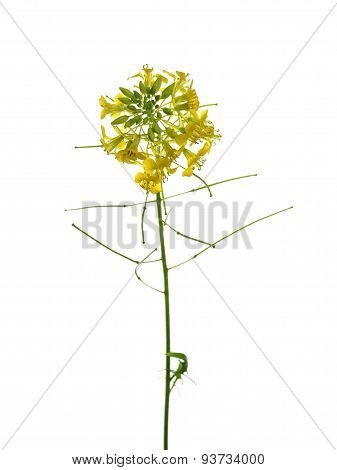 Rapeseed Blossom
