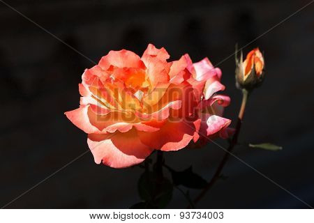 Beautiful Bright Beautiful Delicate Rose In Backlight On A Dark Background. Selective Focus And Spac