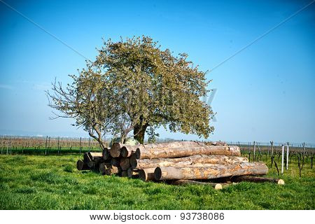 Felled tree trunks in a vineyard stacked neatly under a tree waiting for collection by a logging truck. conceptual of the forestry, lumber, energy and agriculture industries