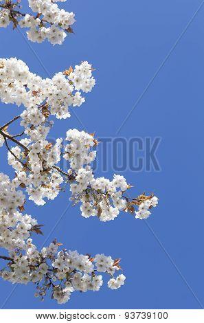 Pretty Spring Blossom With Blue Sky