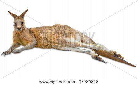Kangaroo down