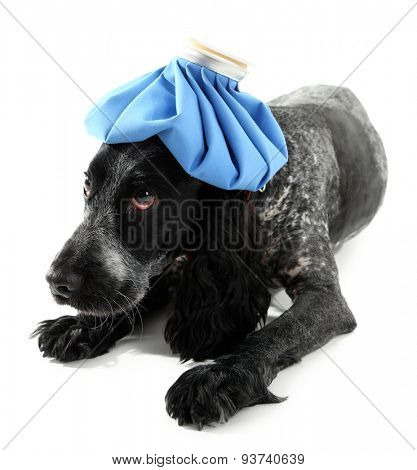 Sick dog with ice bag, isolated on white