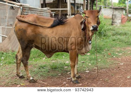 Cow Brown