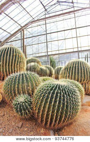 Golden Barrel Cactus In A Cactus Garden.