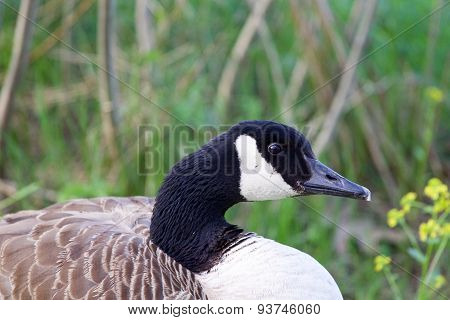 Cackling Goose Is Sitting In The Grass